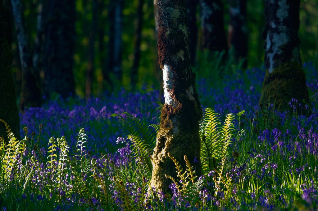 Scottish Bluebell